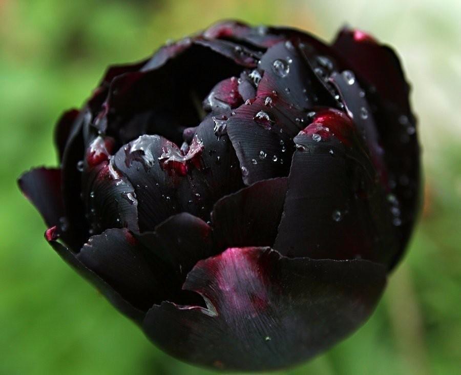 теории бывают ли черные тюльпаны фото словам оксаны, этого