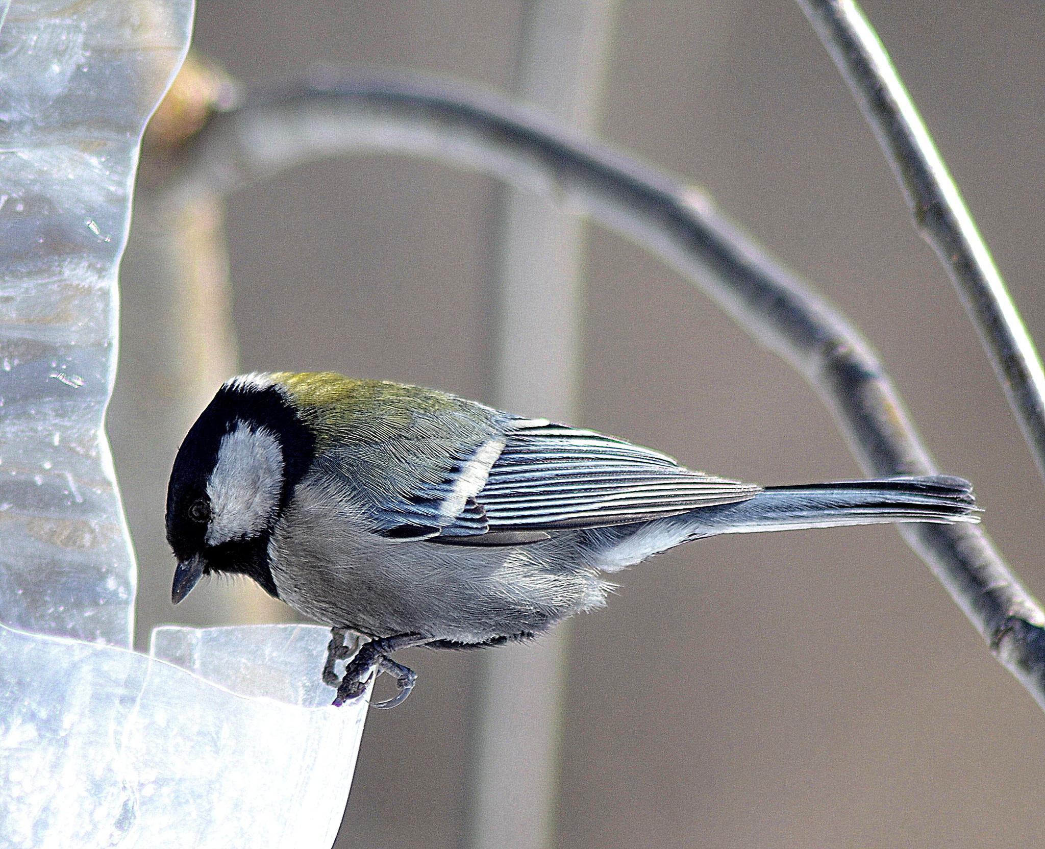 лечение фото и картинки птицы синицы выборе специалиста лучший